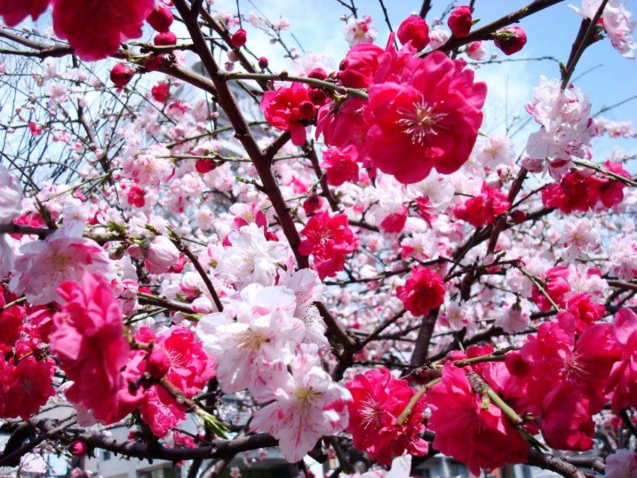 Картинки по запросу цвітіння японського дерева
