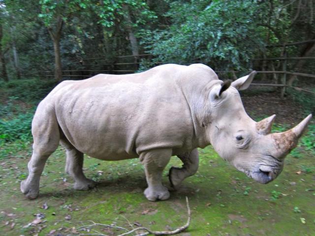 Вкенийском заповеднике скончался последний самец северного белого носорога