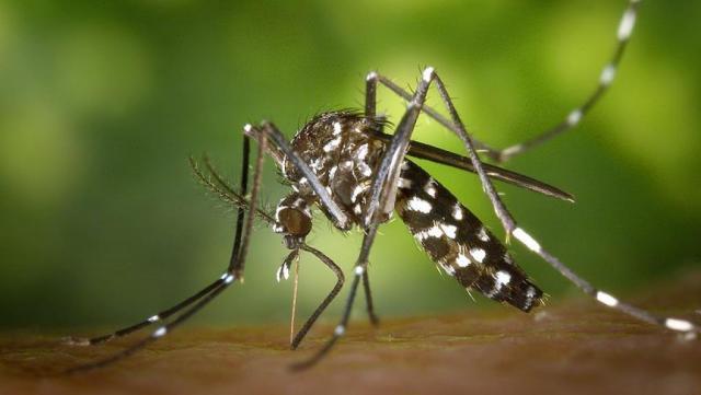 Вкитайской провинции Сычуань найден огромный комар
