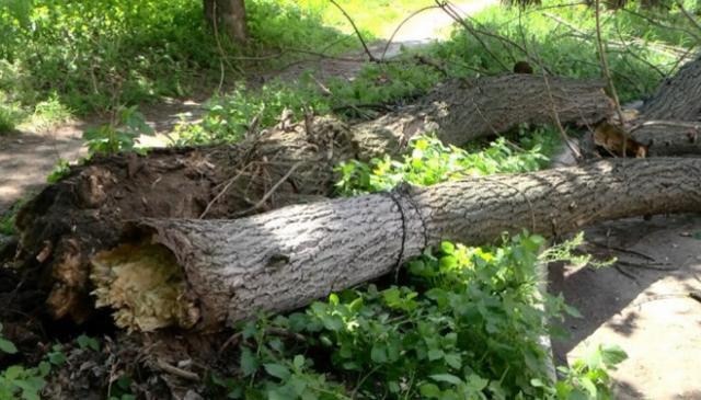 ВЧеркассах навтороклассников упало дерево, 4 ребенка травмированы