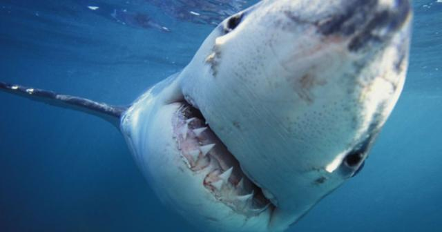 Уберегов Испании впервый раз за40 лет увидели белоснежную акулу