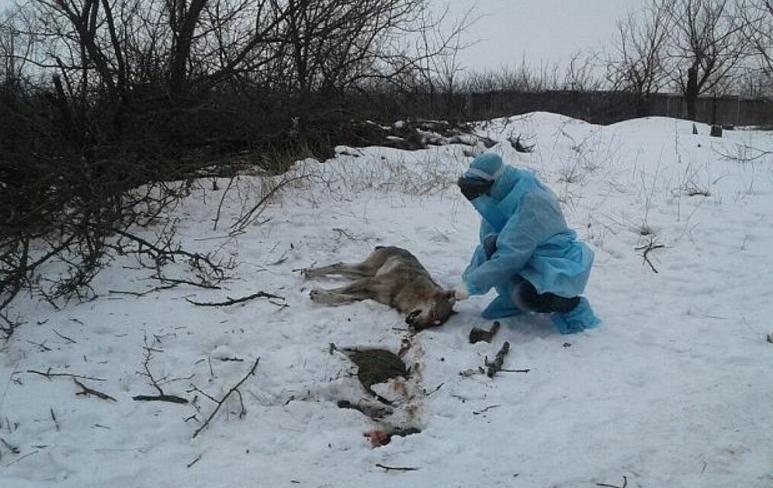 Бешеный волк покусал трех человек на Запорожье