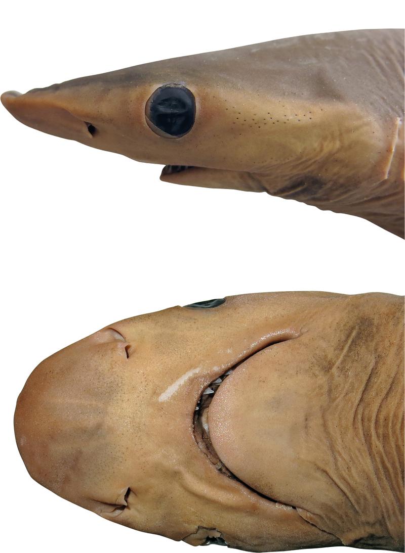 Новий вид акул. Фото: earther.gizmodo.com