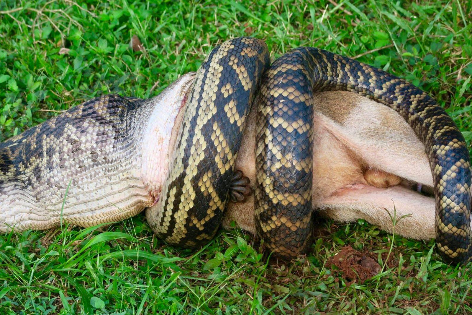 картинки змей которые едят людей никогда стоит