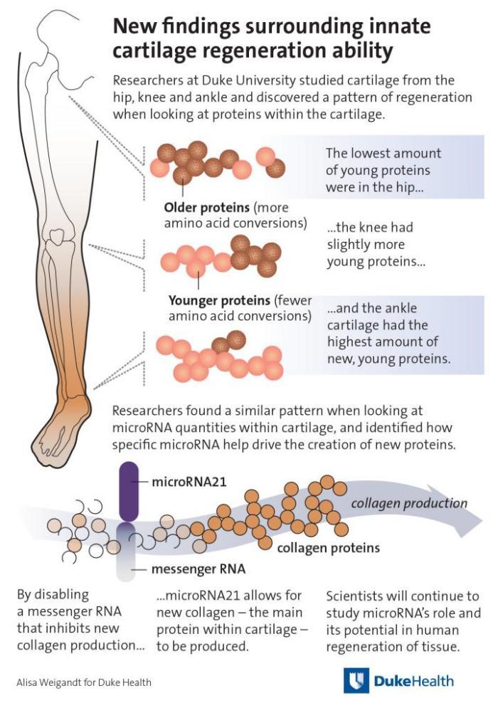 Схема регенерации хрящей в ноге человека, инфографика: Alisa Weigandt for Duke Health
