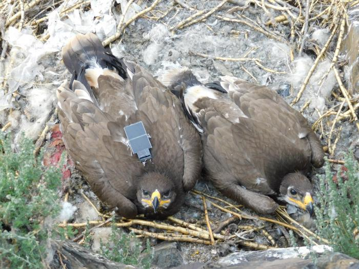Степной орел с GPS-трекером на спине, фото: Российская сеть изучения и охраны пернатых хищников
