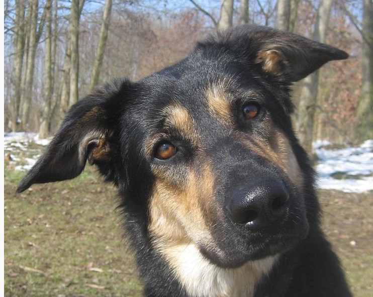 Для исследования использовали фотографии собак с волчьими чертами и вертикальными ушами, фото: Джулиана Брюэр