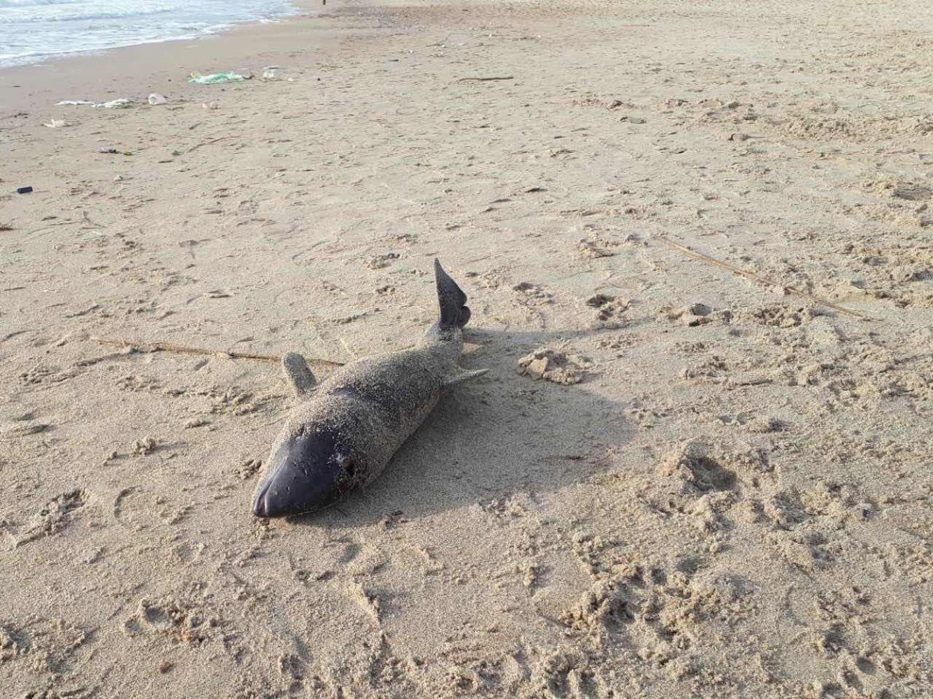 В Одесі на пляжі знайшли мертвого дельфіна. Фото: Думська