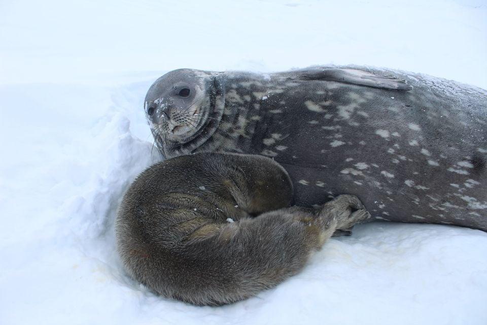 Мать и тюлененок. Фото: пресс-служба антарктического центра