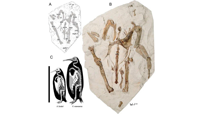 Пінгвін. Фото: Journal of Vertebrate Paleontology