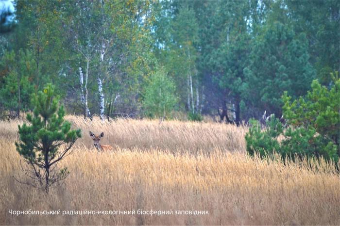 Миті гону оленів у Зоні відчуження потрапили на фото: Сергій Жила