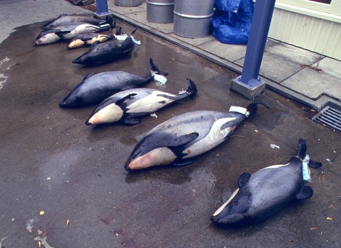 В 2010–2011 годах, по оценкам экологов, оставалось 59 дельфинов Мауи, в 2014–2015 годах - 43–47. Фото hectorsdolphins.com