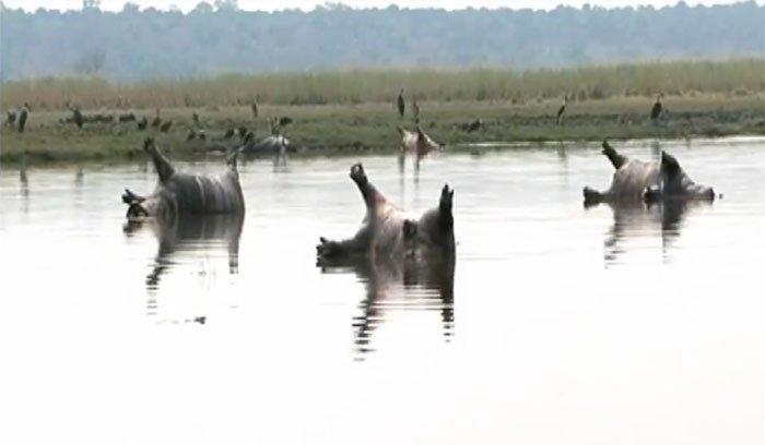В африканском заповеднике сибирская язва убила более ста бегемотов